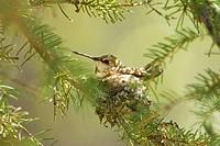 Incubating female rufous hummingbird Selasphorus rufus, Rocky Mountains, Jasper National Park, Alberta, Western Canada