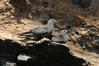 Two Brown Noddies rest on Galapagos Lava rock