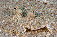 The Peacock Flounder Bothus mancus is a member of the flatfish family Bothidae whose members have their eyes on their left side and who can change col...