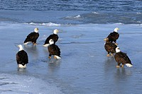Gathering of Bald Eagles Haliaeetus leucocephalus on frozen shoreline, Kachemak Bay, Homer, Alaska, USA