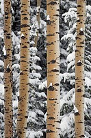 Mixed forest in snowstorm. Kananaskis Country, Alberta, Canada