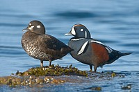 Male and Female Harlequin Ducks Histrionicus histrionicus