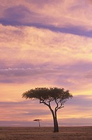 Acacia trees silhouetted at twilight on the savanna, Masai Mara Game Refuge, Kenya, Africa.