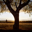 A large tree in a field by sunset