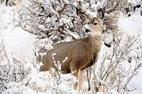 Mule deer Odocoileus hemionus in snowy sagebrush landscape