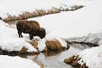 American bison feeding near Soda Butte Creek