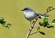 Blue_grey Gnatcatcher Polioptila caerulea on perch in Chapparral area of California Coast, USA