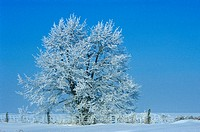 Hoarfrost on tree in winter field, Thornton, Ontario, Canada