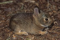 Young Eastern Cottontail ,Sylvilagus floridanus, Florida, USA.