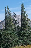 Krummholz, banner, or flag Subalpine Fir trees Abies lasiocarpa shaped by the prevailing wind, Snowy Range, Medicine Bow National Forest, Wyoming, USA...
