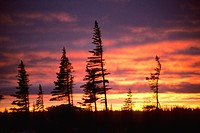 White spruce at the northern treeline of the boreal forest, northen Manitoba, Canada