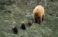 Brown bear Ursus arctos mother and three cubs of the year, northern Yukon, Arctic Canada