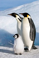 Emperor penguin Aptenoytes forsteri chick and adults, Snow Hill Island, Weddell Sea, Antarctica