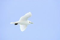 Ivory gull Pagophila eburnea, Svalbard Archipelago, Arctic Norway