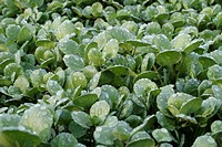 Watercress Rorippa nasturtium_aquaticum crop, growing on gravel beds with water drops on foliage, England