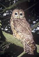 Spotted Owl Strix occidentalis, a near threatened species, Western North America.