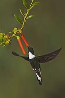 A Collared Inca Hummingbird Coeligena torquata feeding at a flower while flying in the Tandayapa Valley of Ecuador.
