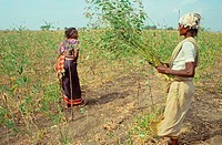 Pigeon Pea Cajanus cajan crop being harvested by hand, India