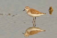 Semipalmated Sandpiper Calidris pusilla feeding in a mudflat on the coast of Ecuador.