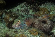 Redbanded Parrotfish showing night and protective coloration. ,Sparisoma aurofrenatum, Caribbean