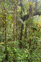 A view of the rainforest in Podocarpus national Park in southeast Ecuador.