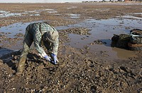 Mussel fisherman collecting from managed mussel beds at low tide, The Wash, Norfolk, England, march