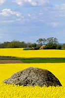 Large stone in rape field, Ostergotland, Sweden