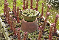 Houseleek Sempervivum sp growing in raised planter in garden, Norfolk, England