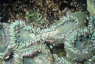 Aggregating Sea Anemones dividing asexually ,Anthopleura elegantissima, Pacific Coast of North America.