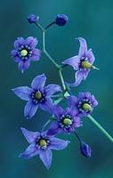 Bittersweet Nightshade flowers ,Solanum dulcamara, North America.
