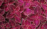 Variegated leaves of Coleus.