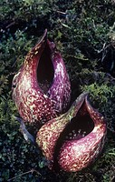 Skunk Cabbage flowers ,Symplocarpus foetidus, North America.