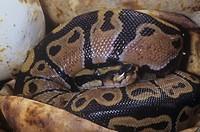 Ball Python hatching from an egg ,Python regius, Africa.