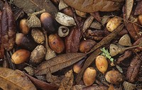 Live Oak leaves and acorns on the fall forest floor Quercus virginiana, Eastern North America.