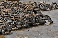 Herd of Burchell´s Zebras gathering for a drink before crossing Mara River,Masai Mara Game Reserve, Kenya.