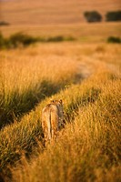 Lioness walking in vehicle tracks, Masai Mara Game Reserve, Kenya.