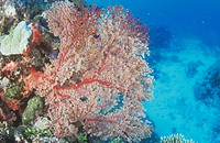 Coral Reef scene with Gorgonian or Sea Fan Soft Corals, Great Barrier Reef, Australia, Pacific Ocean.