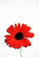 A red gerbera on a white background