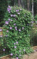 Morning Glory growing up a trellis by means of thigmotropism Ipomoea tricolor, Heavenly Blue variety.