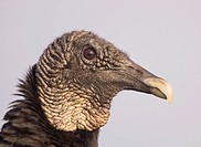 Black Vulture head ,Coragyps atratus, Southern USA.