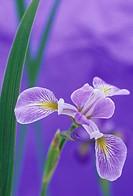 Siberian Iris flower Iris siberica, Skywings variety.