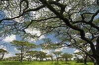 Flat Top Acacia ,Acacia abyssinica, Serengeti National Park, Tanzania, Africa.