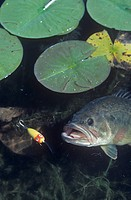 Largemouth Bass, surface lure.
