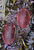Gumboot Chiton ,Cryptochiton stelleri, the world´s largest Chiton, California, USA, Pacific Ocean.
