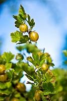 A gooseberry bush Oland Sweden.
