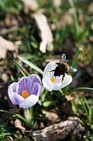 Crocus in spring Sweden.