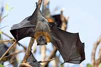 A Grey Headed Flying Fox hanging from a branch, sunning its wings after cleaning  You can see the arms, hands and outline of the bones in the wing  Th...