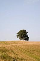 Eichenbaum im Feld