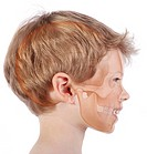 Skull in a 6_year_old child. Representation of the skull in transparency in the face of a 6_year_old child in profile view.