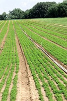 Parsley Cultivation | RM.